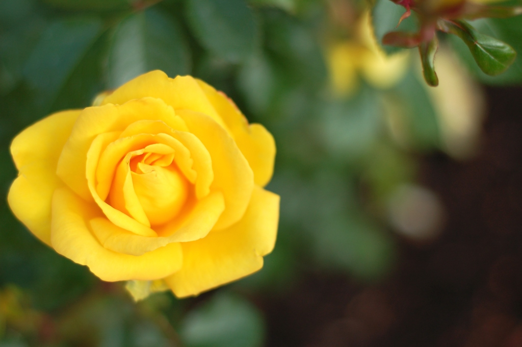 yellow rose 20