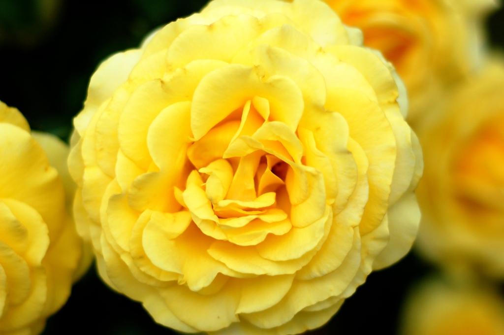yellow roses 13