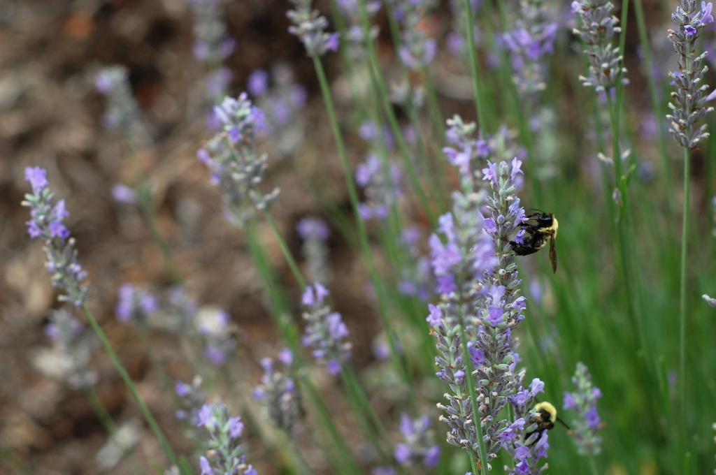 bumblebees on lavender 014