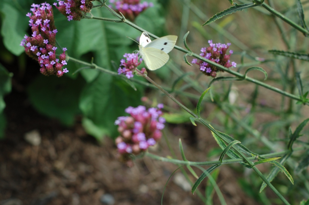 cabbage white on purple top 62
