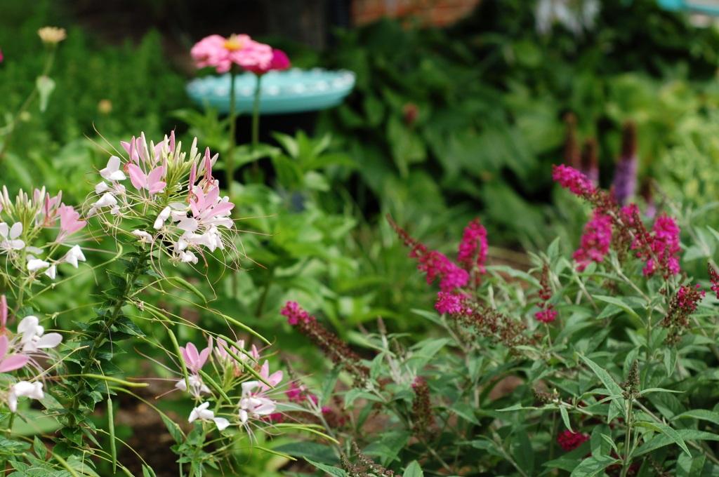 front cleome zinnias bird bath and butterfly bush 22