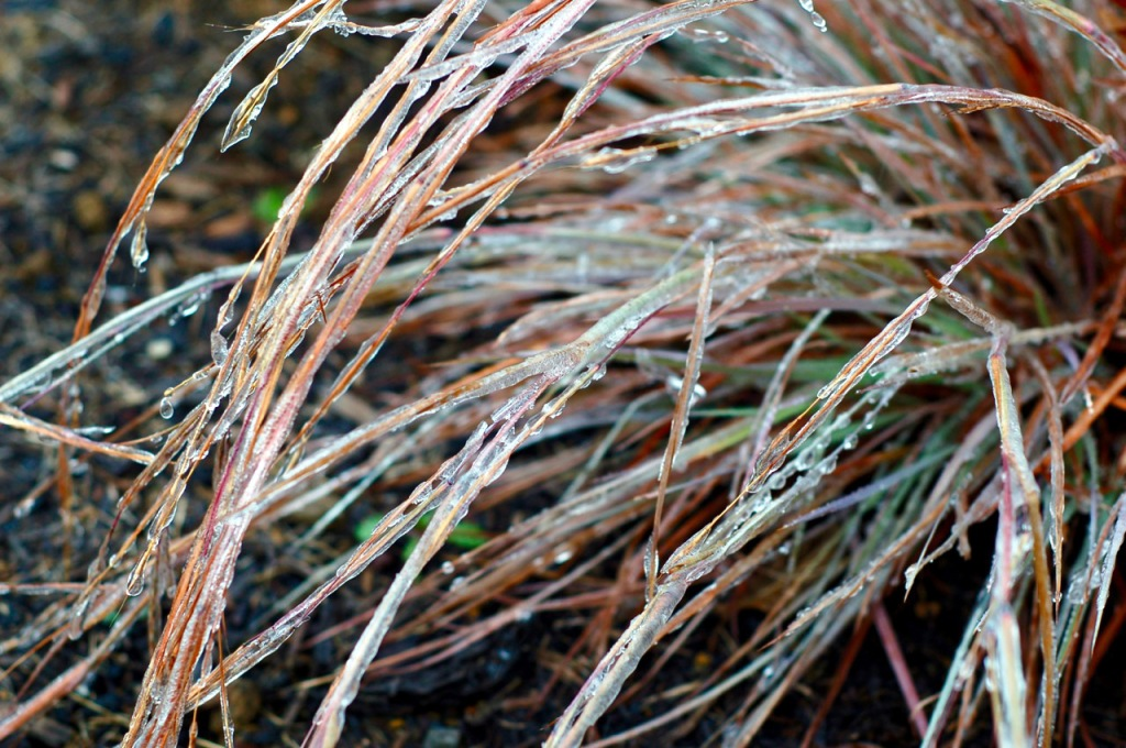 iced little bluestem_0003 (1)