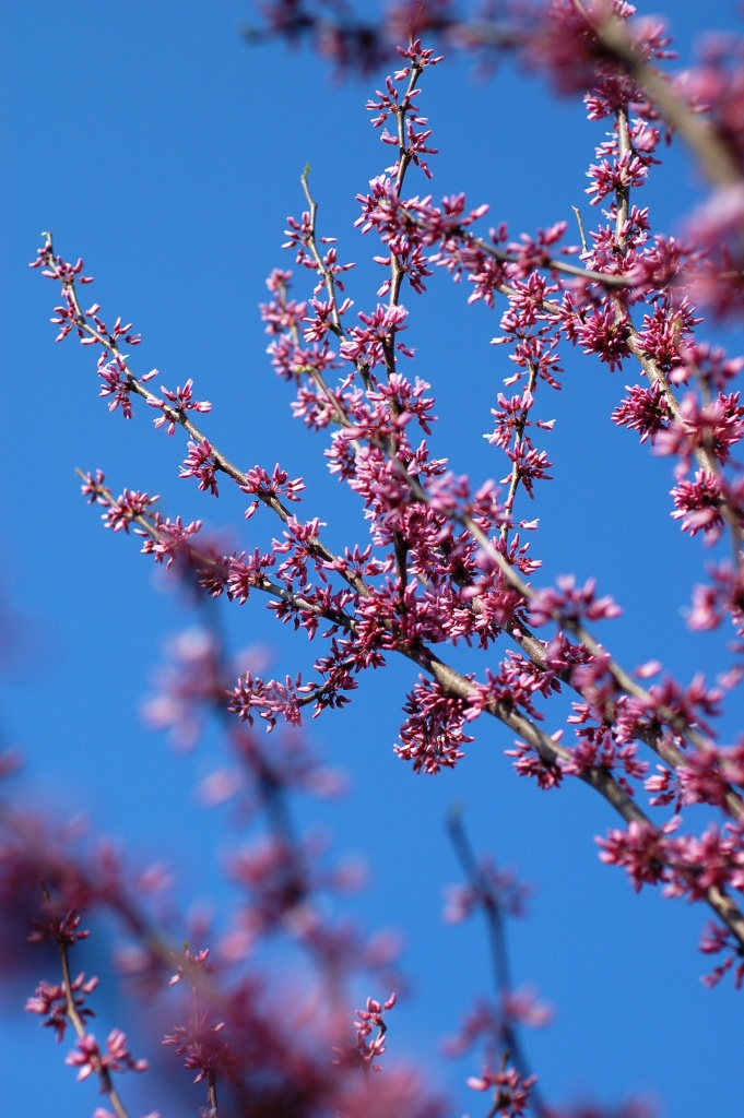 03 redbud branches with sky