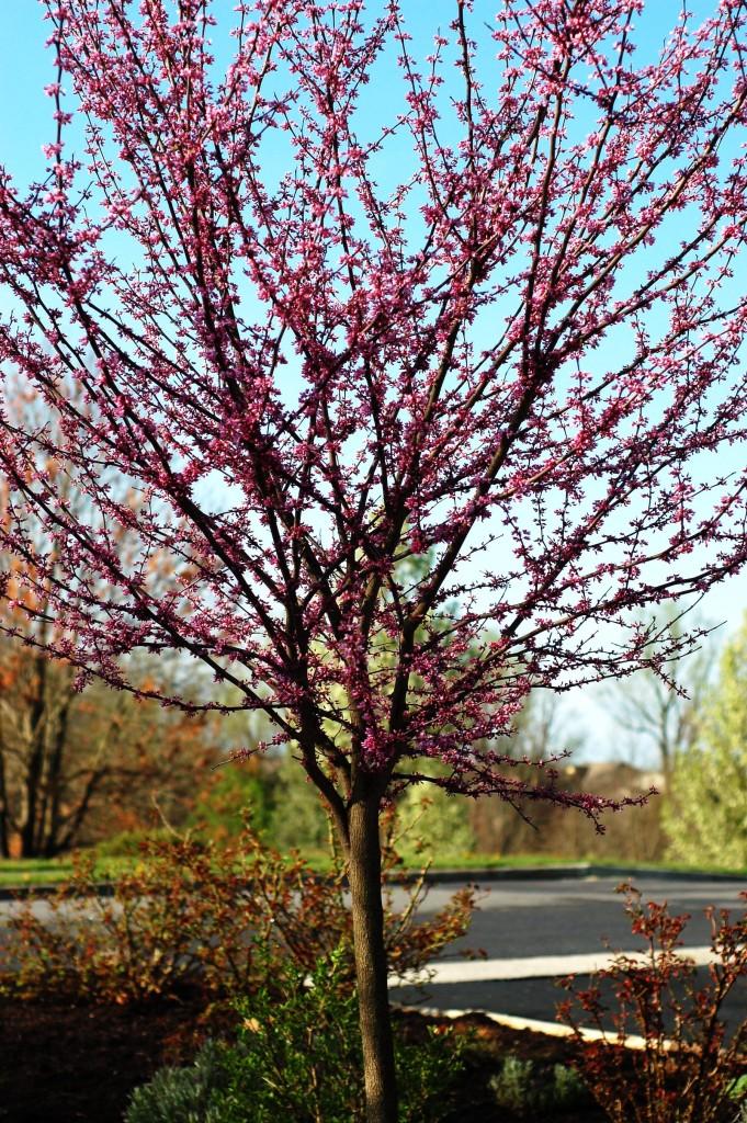 08 redbud tree