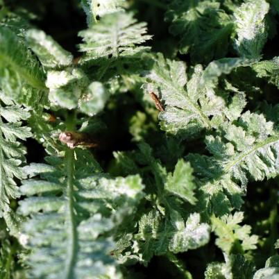 Tiny yarrow flower bud (upper left)