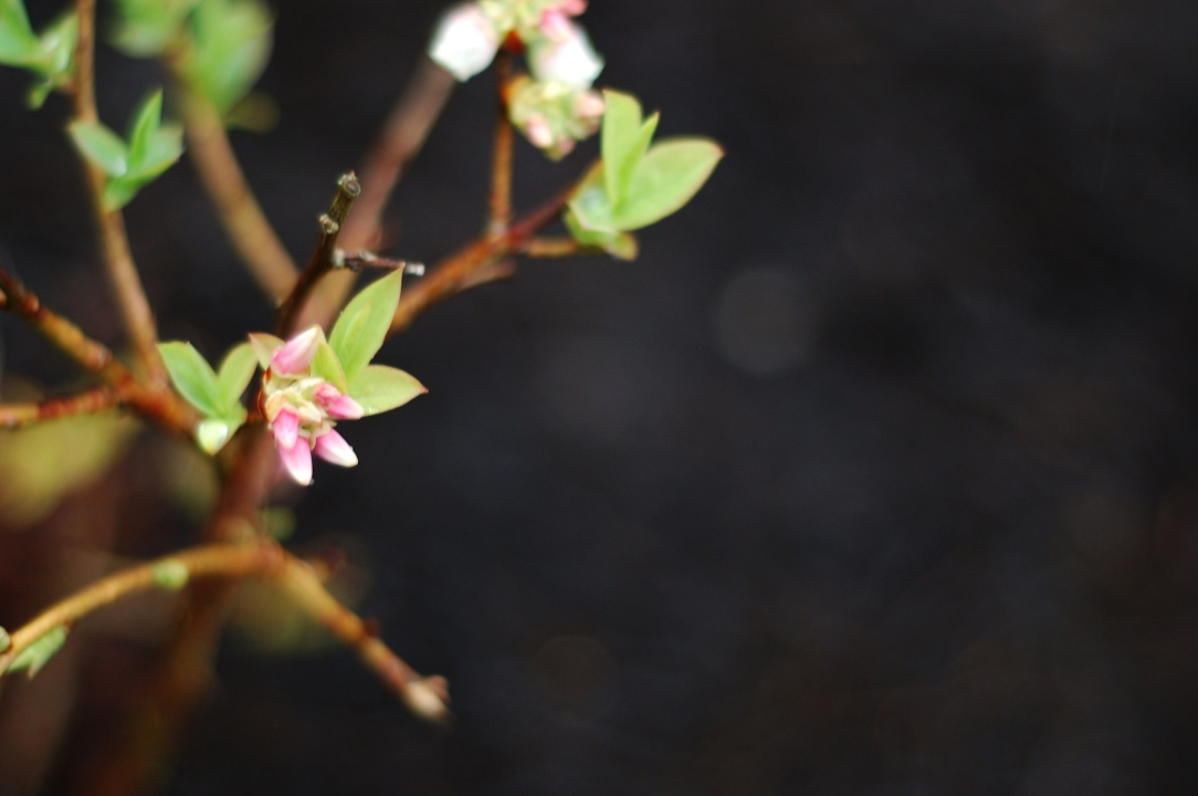 Blueberry buds and blossoms
