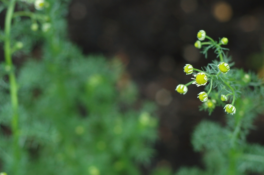chamomile flowers34