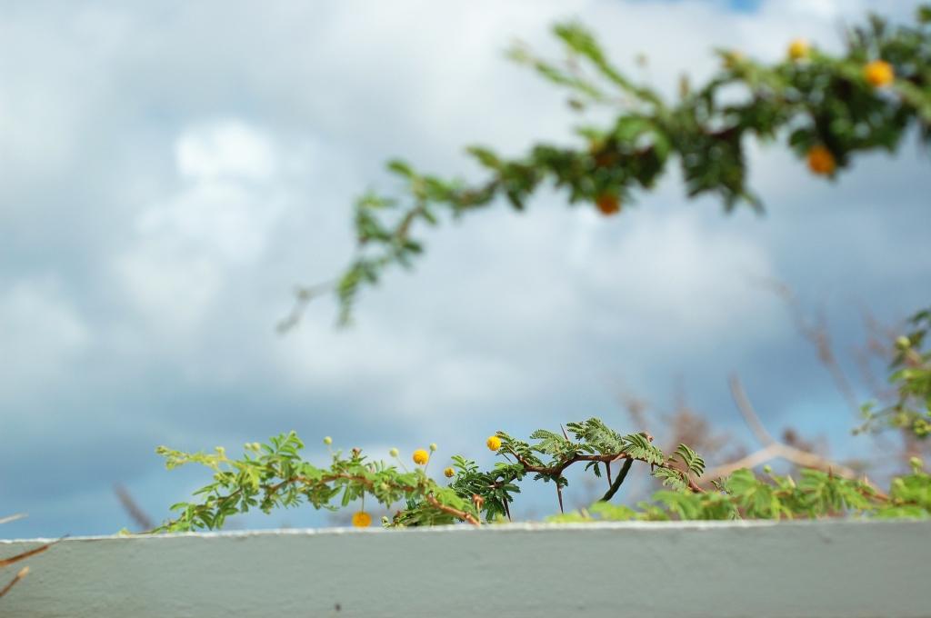 curacao yellow pompom plant_0021