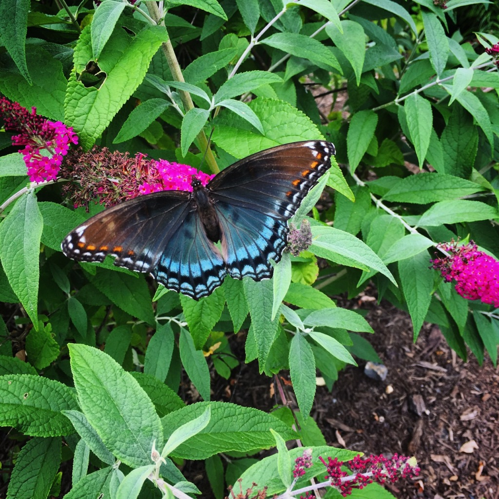 June 25 swallowtail copy