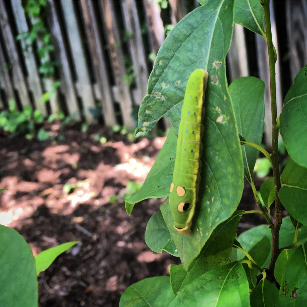 June 26 spicebush swallowtail caterpillar copy