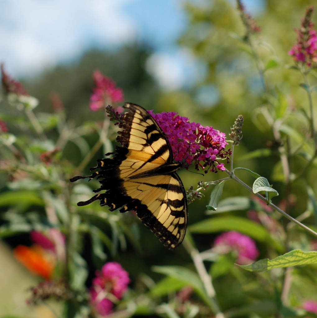 raggedy tiger swallowtail with sky_0016 copy
