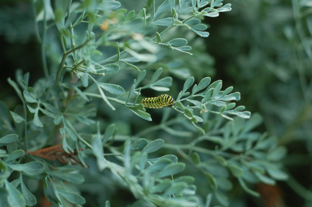 swallowtail caterpillar on rue_0042