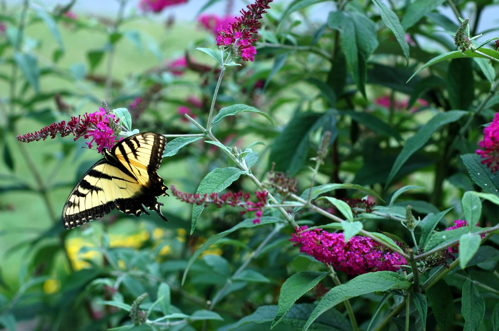 tiger swallowtail on butterfly bush_0059